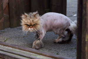 shaved-cat-2